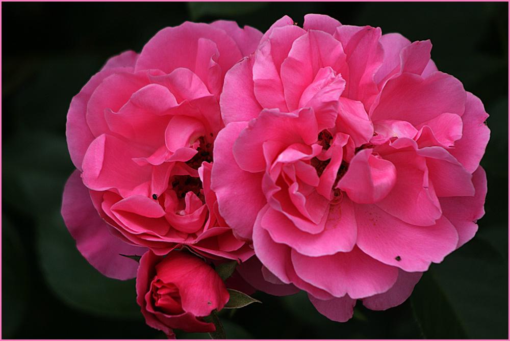 Wieder eine rosa Rose