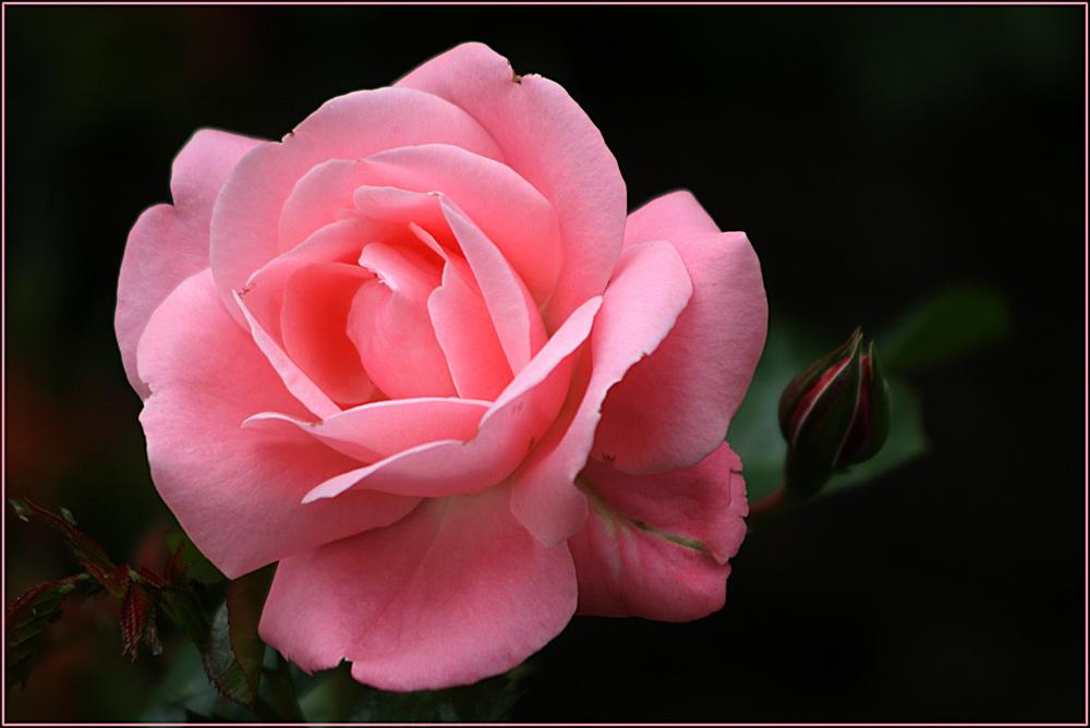 Wieder eine Rosenblüte...