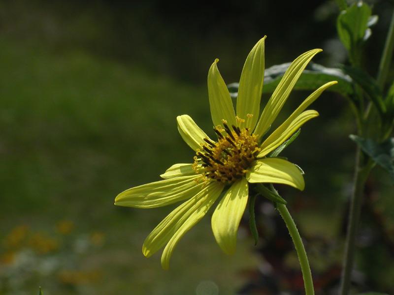 wieder eine Sonnenblume - aber mal eine etwas andere