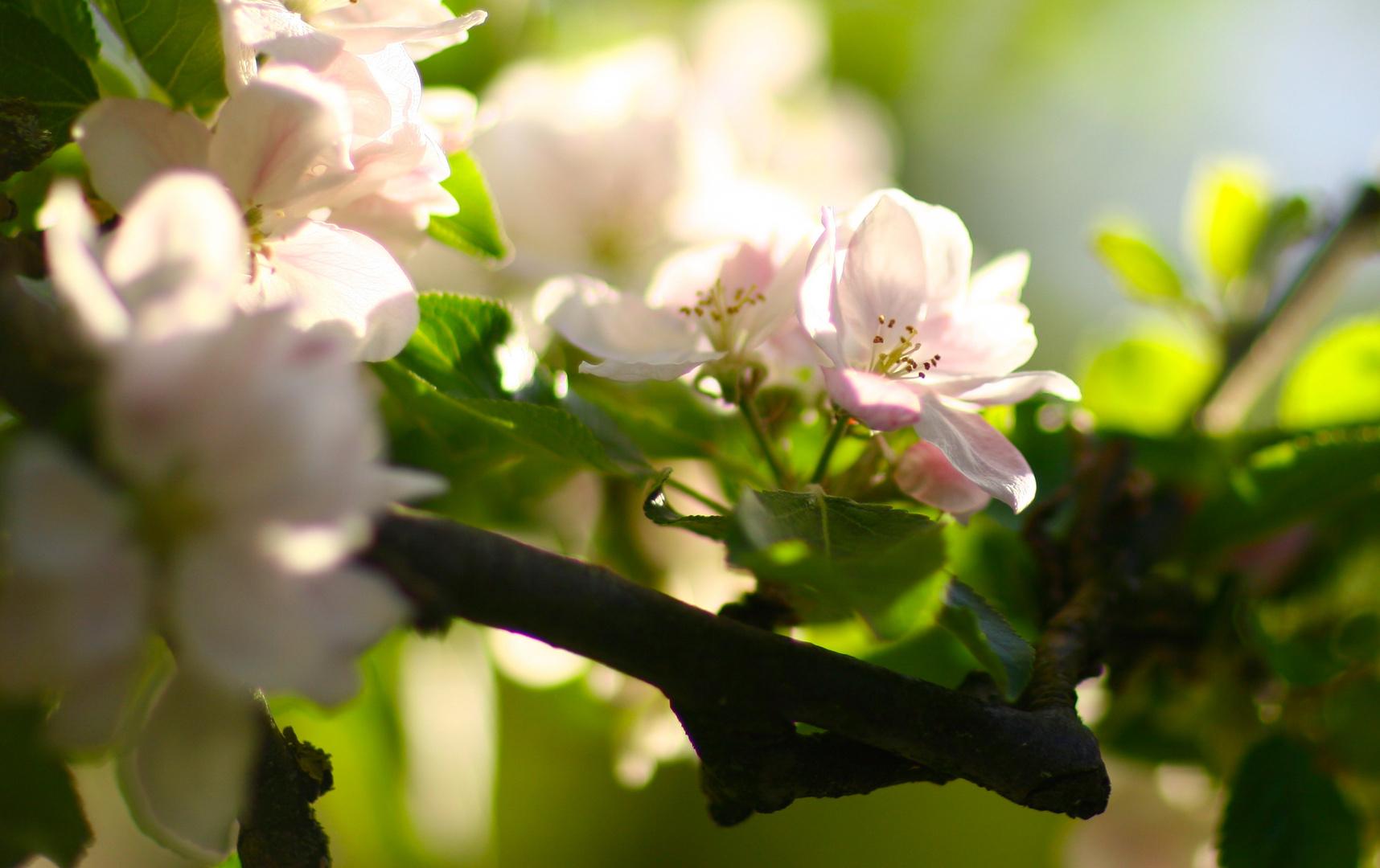 wieder eine Viezbaumblüte