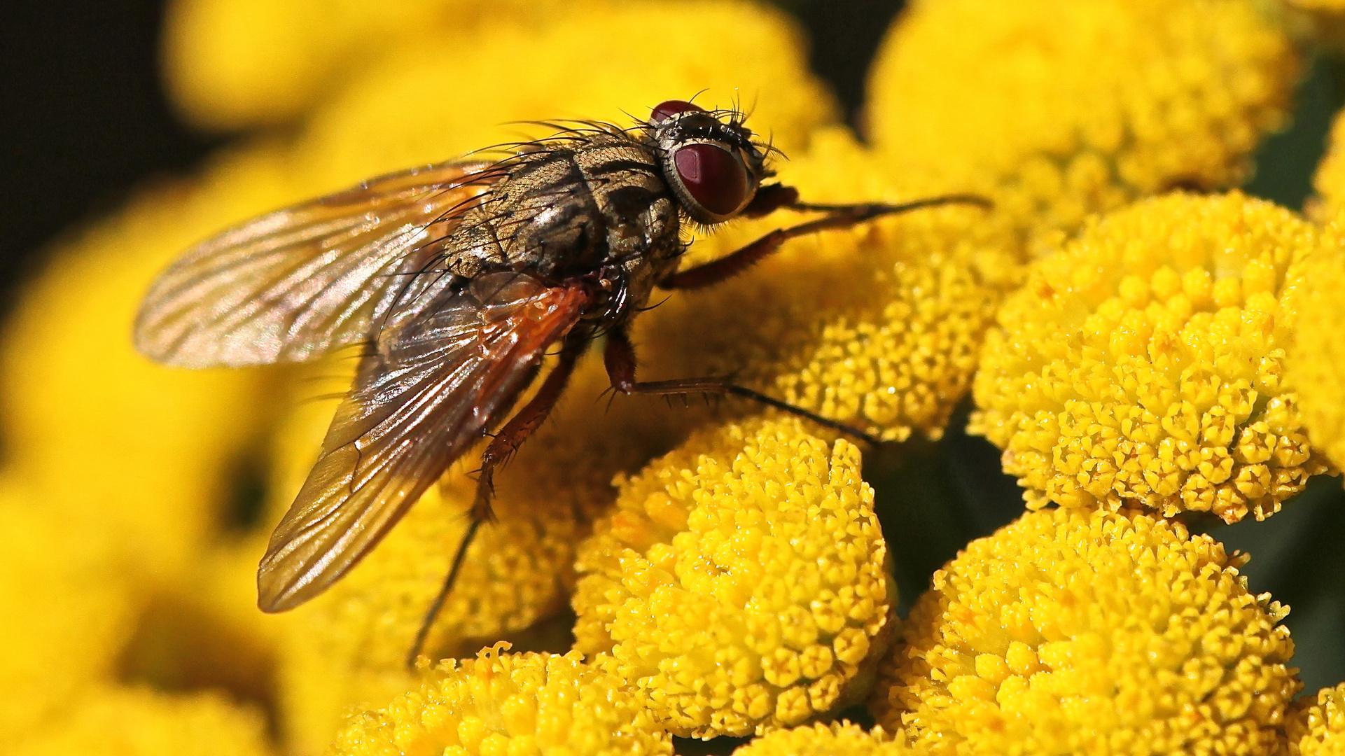 Wieder einmal: nur eine gewöhnliche Fliege....