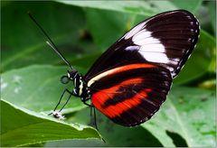 Wieder ist Papillon-Saison...