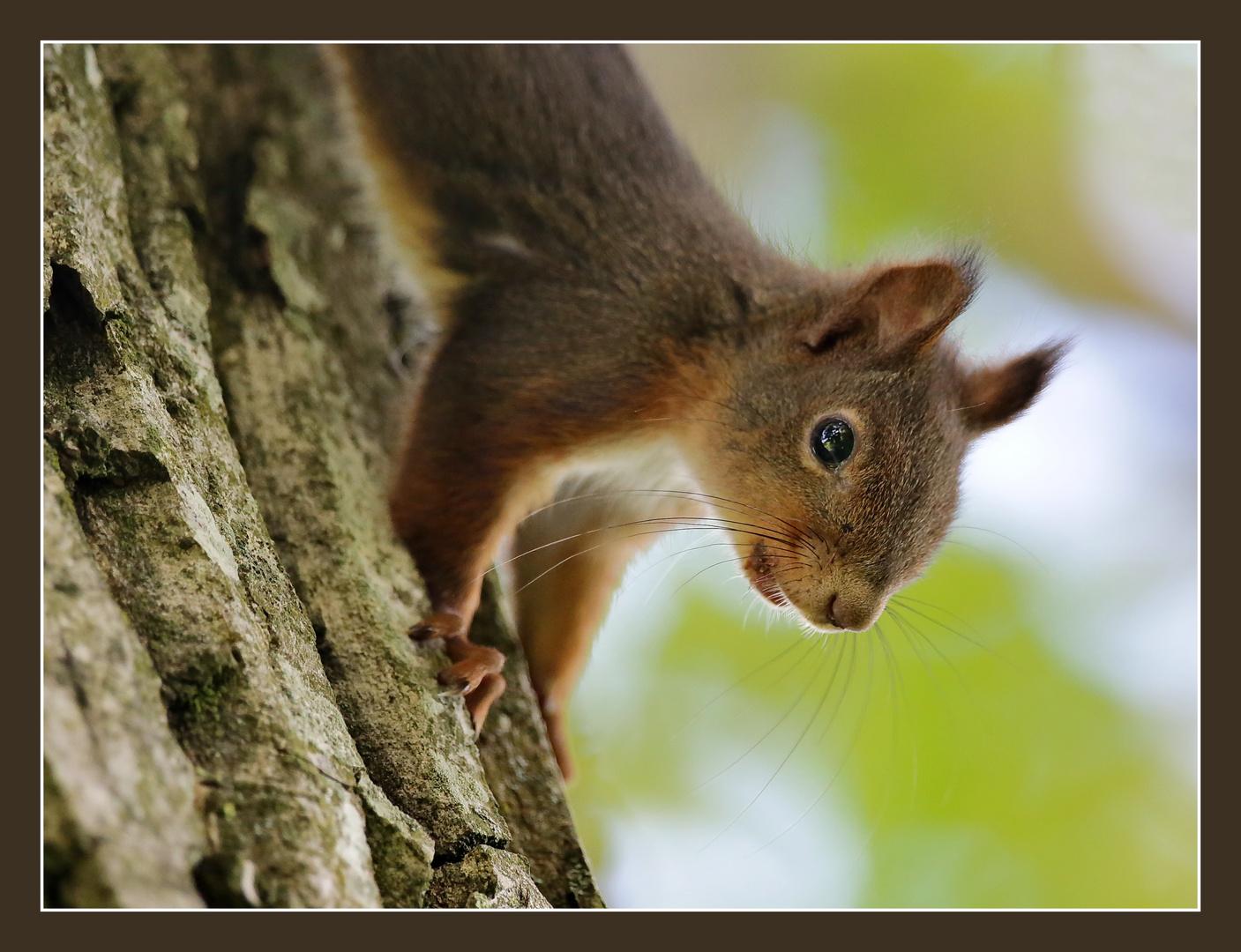 Wieder mal ein Eichhörnchen