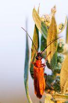 wieder mal ein Käferbild ...