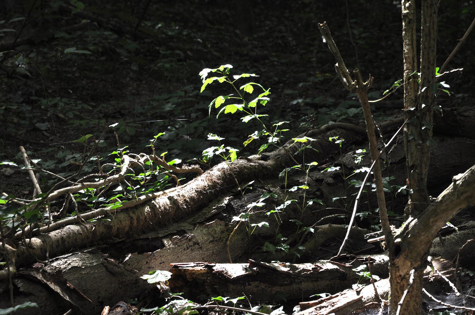 Wiedergeburt im Bannwald