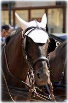 Wiener FiakerPferd I;W;A