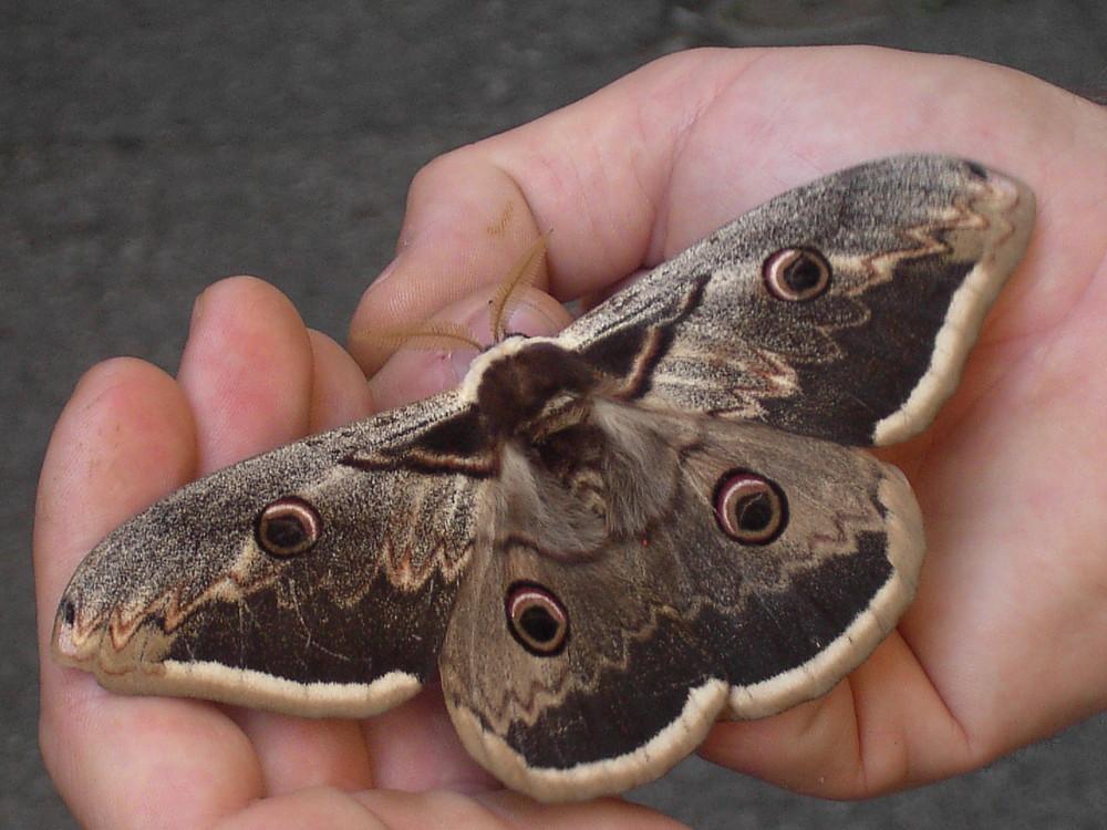Wiener Nachtpfauenauge/ (Saturnia pyri ) grösster Schmetterling Europas.Tessin CH