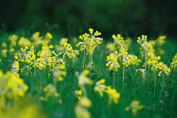 Wiese mitSchlüsselblumen