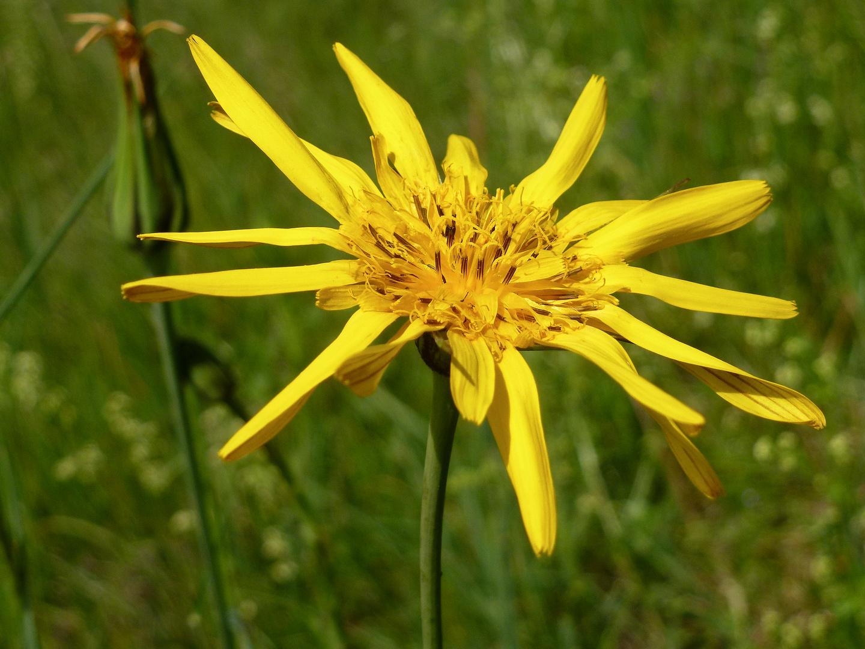 Wiesen-Bocksbart (Tragopogon pratensis)