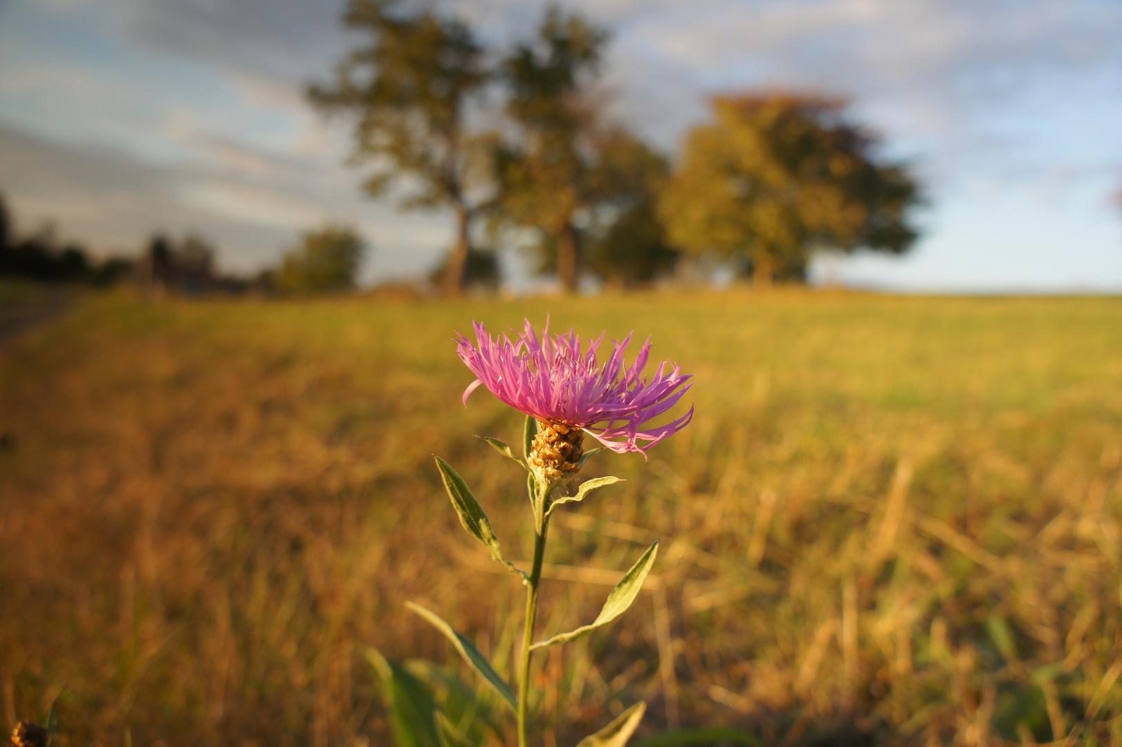 Wiesen - Flockenblume