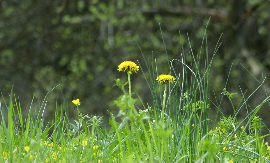 Wiesen-Frühling*