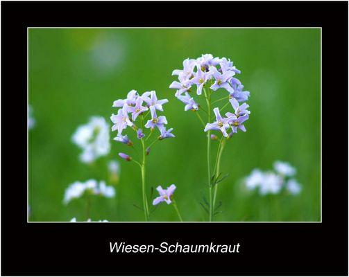 Wiesen - Schaumkraut
