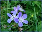 Wiesen - Storchschnabel (Geranium pratense)