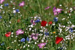 Wiesenblumen vom Nitrophosphat hier nicht verdrängt!