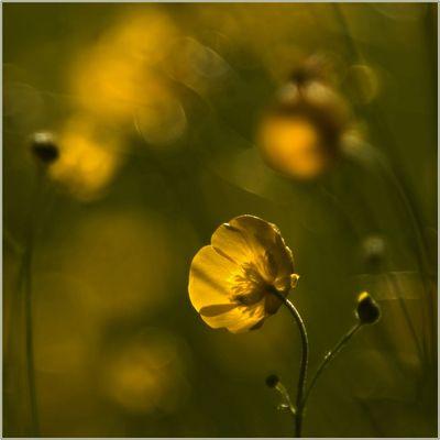 Wiesengold