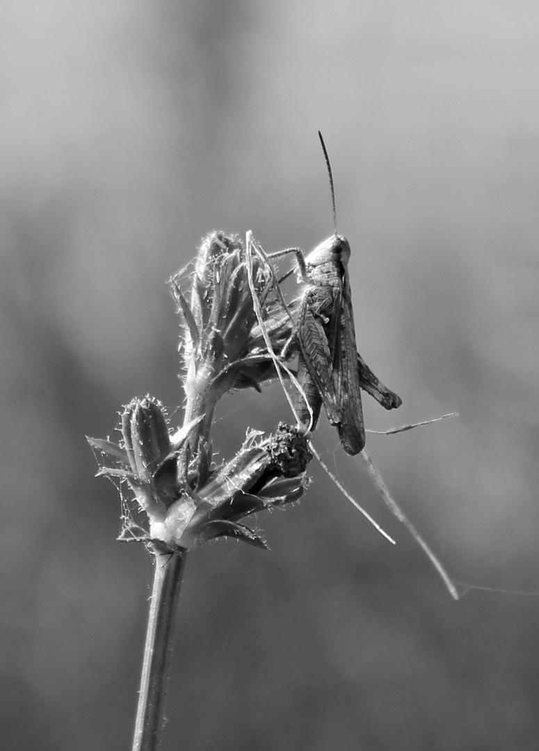 Wiesengrashüpfer (Chorthippus dorsatus) in s/w