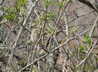 Wiesenpieper im Weißdornbusch