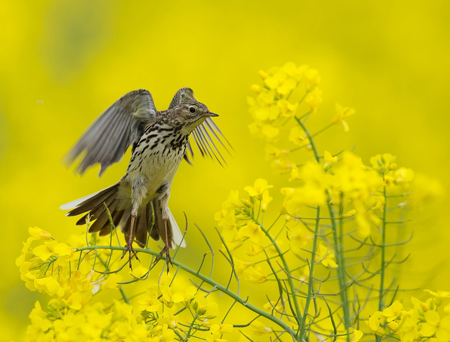 Wiesenpieper ins gelb