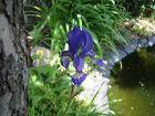 Wiesenschwertlilie (Iris sibirica)