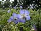 Wiesenstorchschnabel (Geranium pratense)