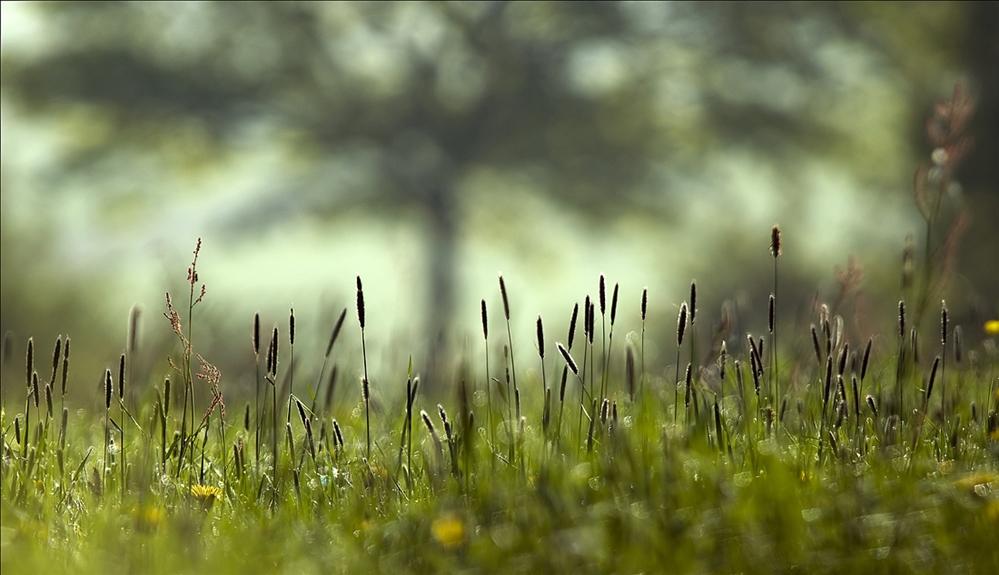 Wiesentraumbaum