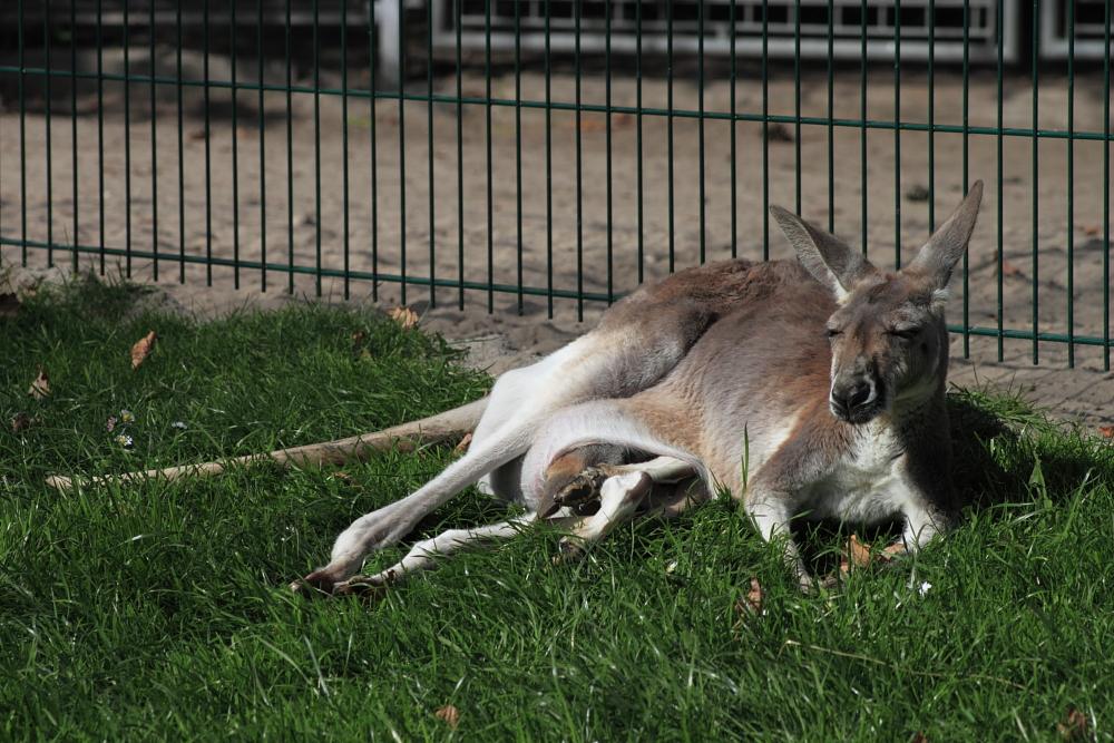 Wieviele Beine hat ein Känguru?