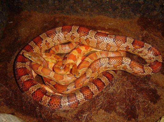 Wieviele Schlangen sind das?