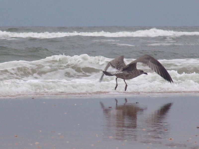 Wijk aan Zee, Holland 2006 Niederländische Möwe