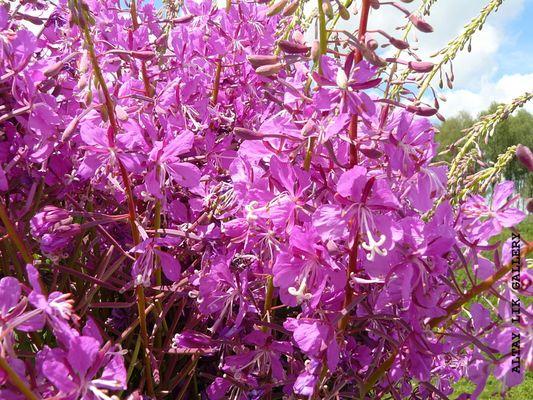 Wild Altay flowers