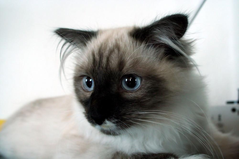 Wild Cat Lichi