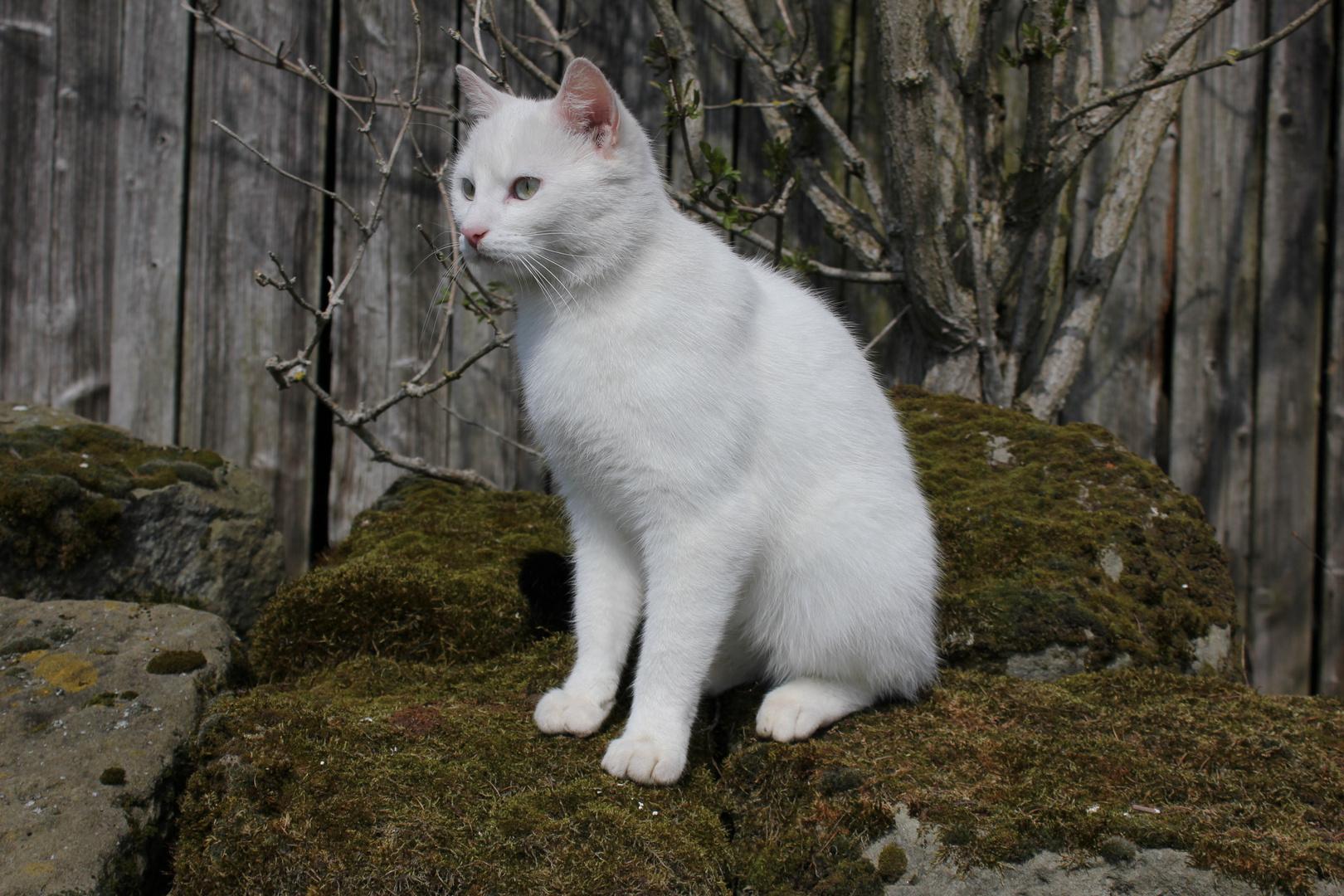 Wild Cat's Thron