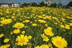 Wild Chrisanthemums