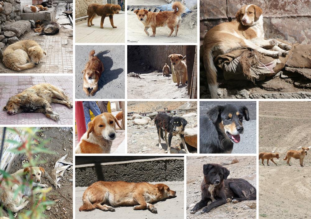 wild dogs of ladakh