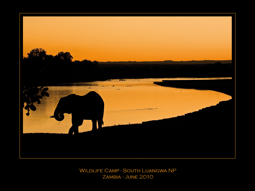 """wild"" elefant at sunset"