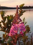 Wild Fireweed Plant