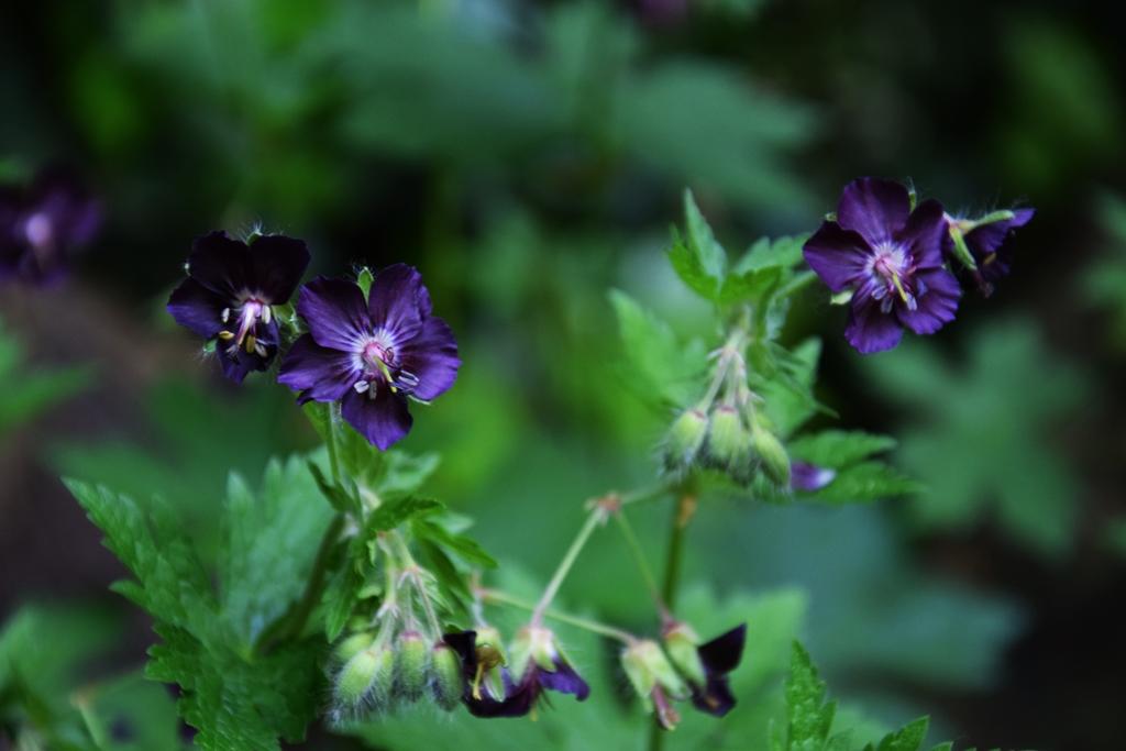 Wild Geranium - In Bloom
