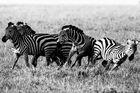 Wild horses ...
