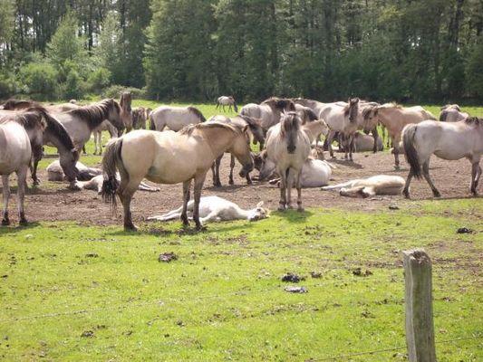 Wild Horses (Meerfelder Bruch Dülmen)