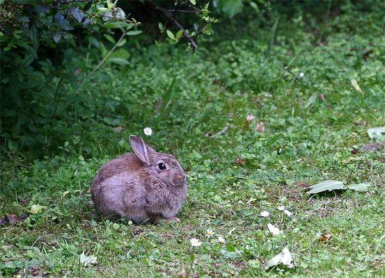 Wild-Kaninchen
