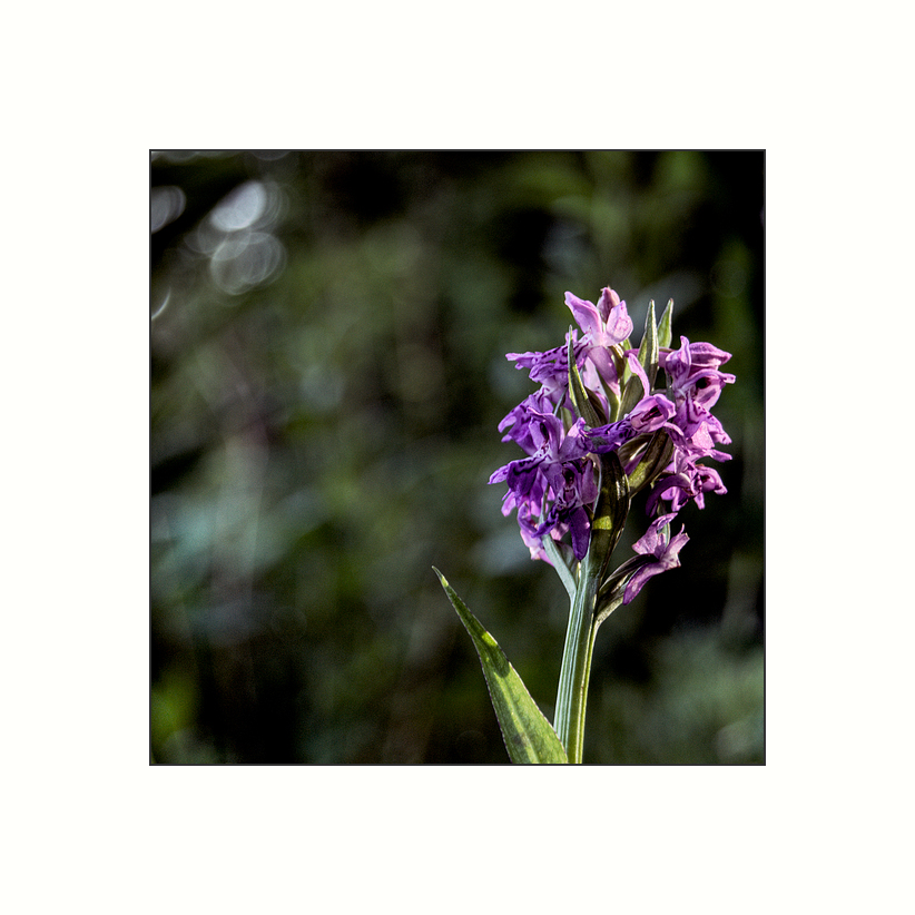 Wild Orchidee I   Orchis morio