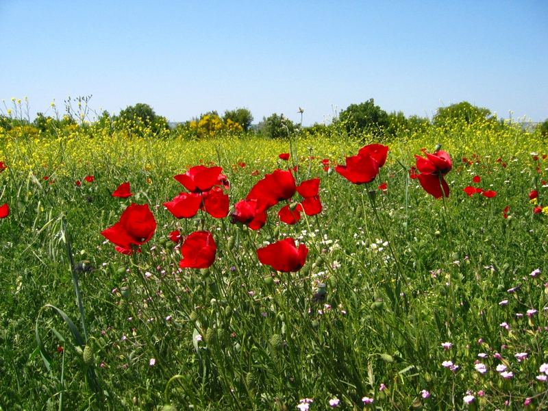 Wild poppies in Anatolia