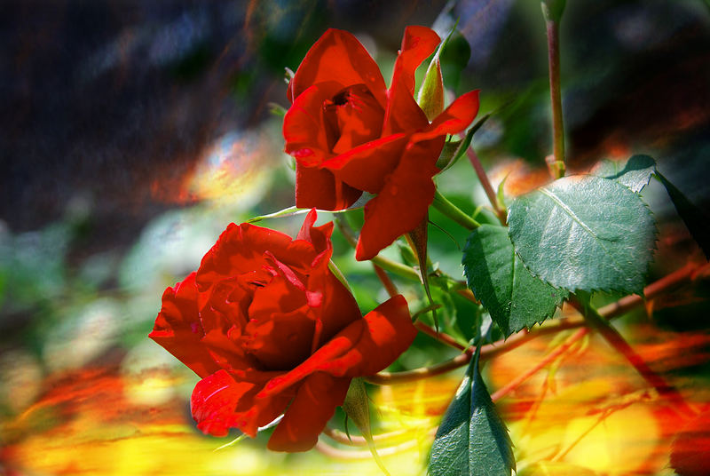 Wild-Rose...