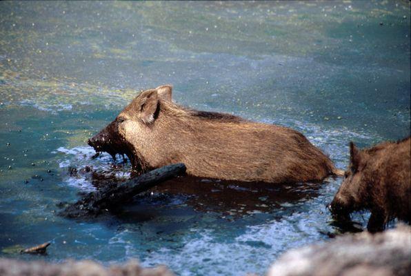 Wild-Schoko-Schwein