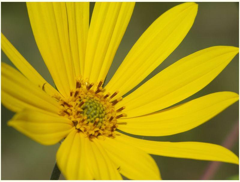 """""""Wild Sunflower"""""""