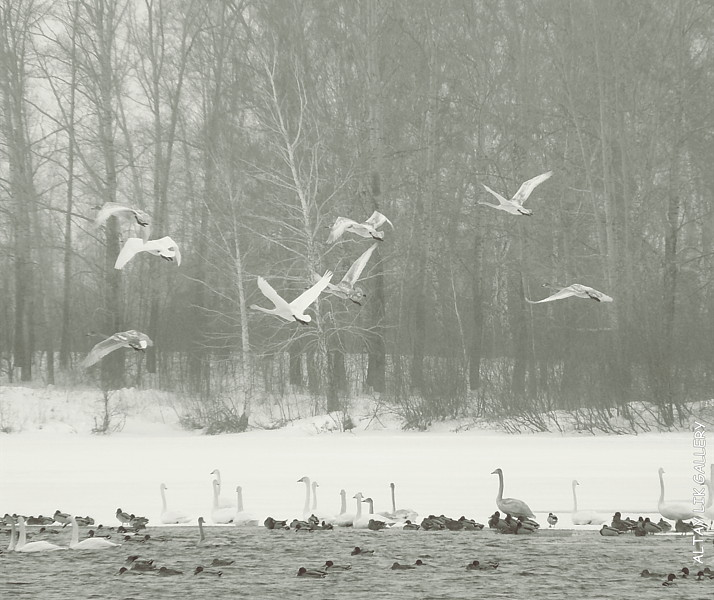 Wild Swans Altay