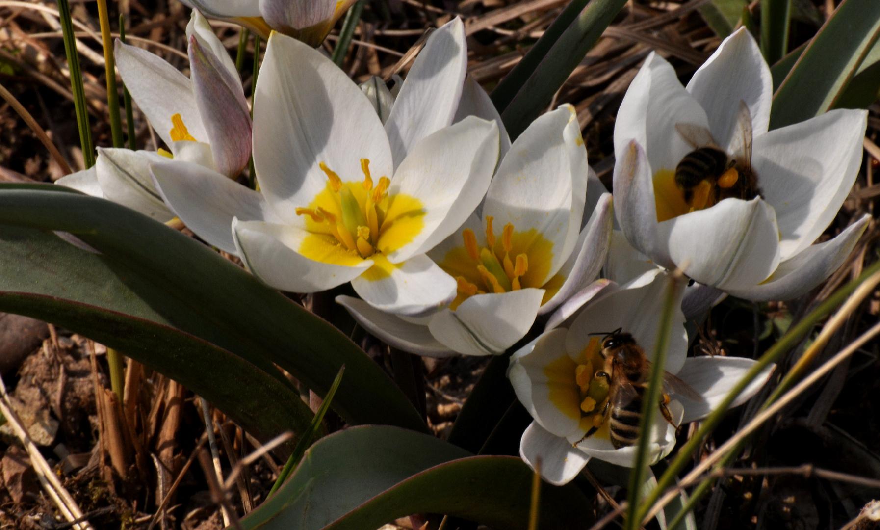 Wild-Tulpen laden zum Lunch