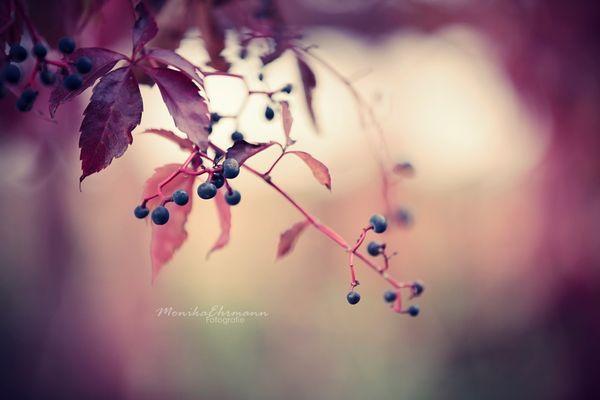 .wild vine.