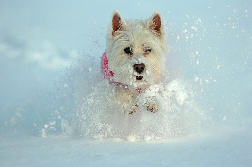 wild-west-highland-terrier