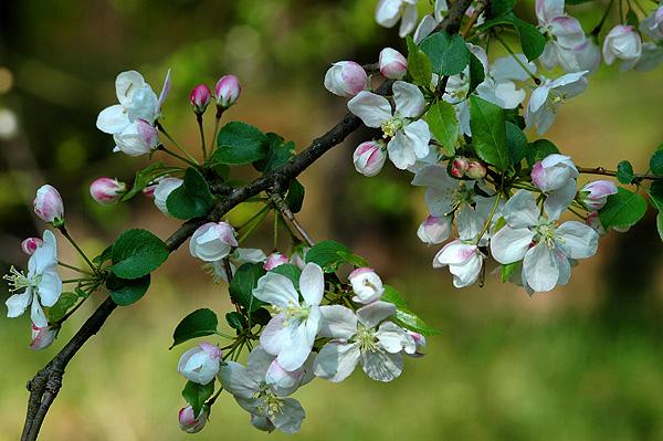 Wildapfel-Blüte