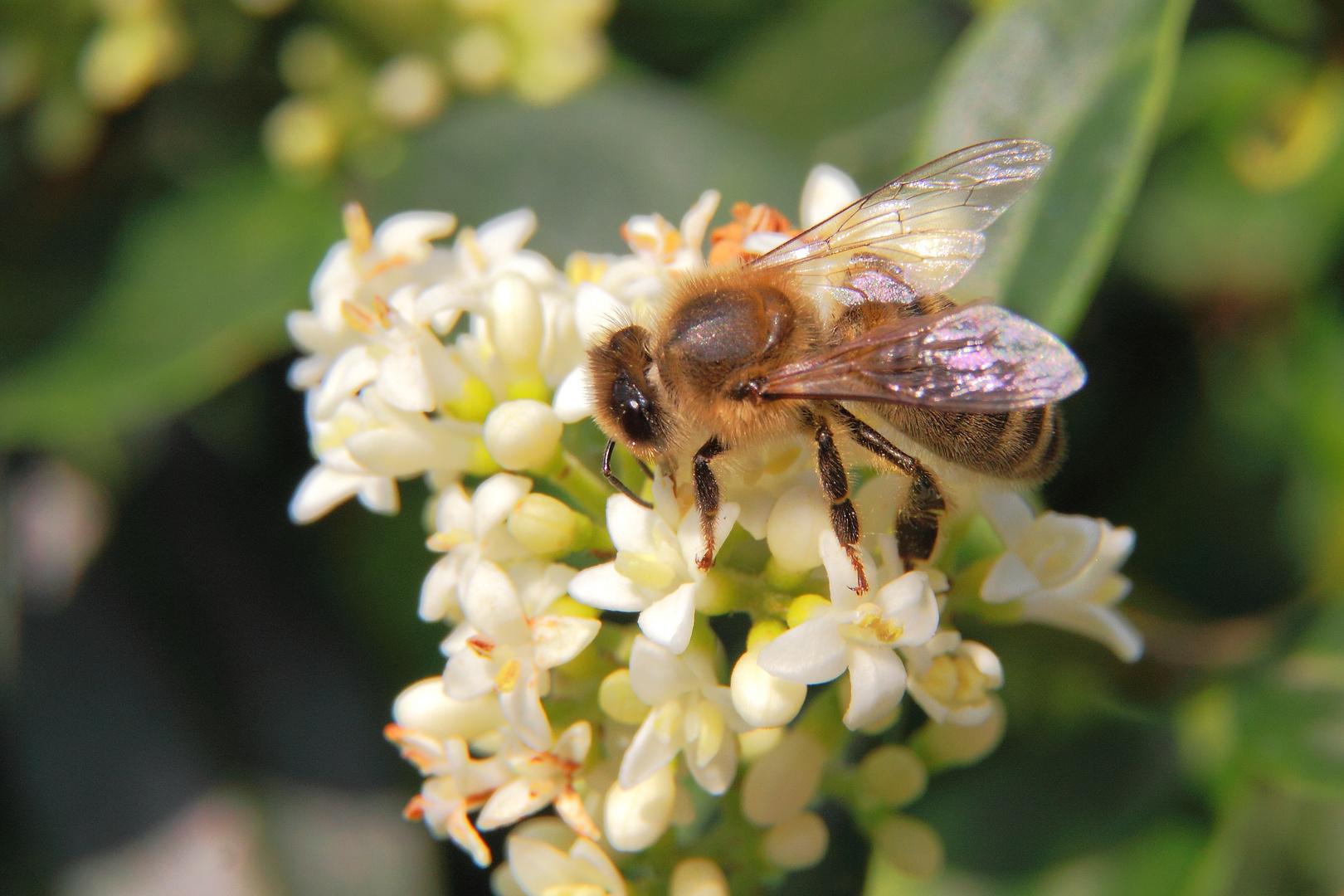 Wildbiene an Ligusterblüte #2